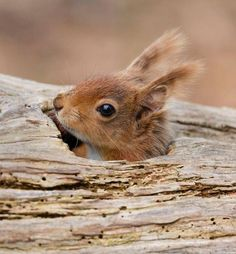 "beautiful-wildlife: ""Knock knock, whos there! by Peter Spencer "" Nature Animals, Animals And Pets, Baby Animals, Cute Animals, Beautiful Creatures, Animals Beautiful, Reptiles, Mammals, Cute Squirrel"