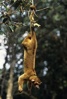 Kinkajou (kinkažu) The kinkajou is a rainforest mammal of the family Procyonidae related to olingos, coatis, raccoons. (Potos flavus) . Native to Central America and South America,