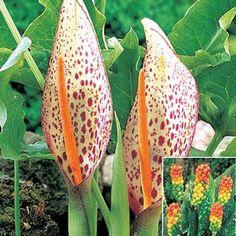 Orange Candleflower