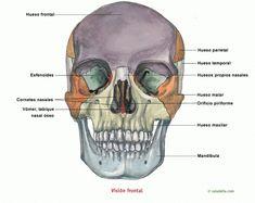 Visión frontal del cráneo