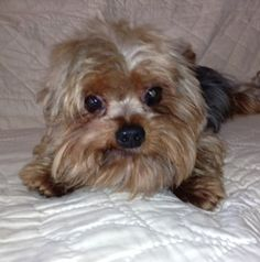 6/25 Adoption pending. Bo is an adoptable Yorkshire Terrier Yorkie Dog in Dallas, TX. Bo was rescued at a�local kill shelter from a breeder release program.� He is about 6 years old and weighs about 6 lbs too! He is a total...