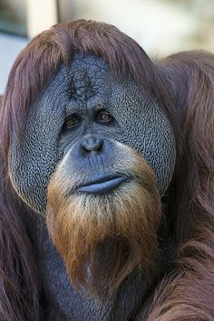 Orangutan,San Diego Zoo (by Official San Diego Zoo) si è fatto crescere barba e capelli Nature Animals, Animals And Pets, Funny Animals, Cute Animals, Primates, Mammals, Beautiful Creatures, Animals Beautiful, He's Beautiful