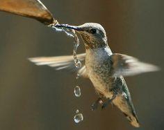 Hummingbird getting a drink of water Pretty Birds, Beautiful Birds, Animals Beautiful, Cute Animals, Small Birds, Little Birds, Hummingbird Garden, Hummingbird Tattoo, Humming Bird Feeders