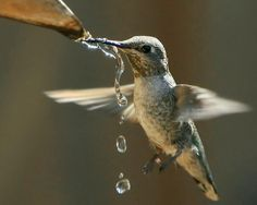 Hummingbird getting a drink of water