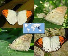Great Orange Tip   Hebomoia glaucippe   Wingspan: 2.5 to 3.5 in  Family: Peiridae   Subfamily: Pierinae  Photos © Ryan G. Fessenden