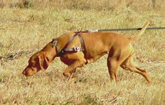 Train Your Dog to Track by Scent: Learn simple ways to teach your dog to scent track. | Dog Fancy