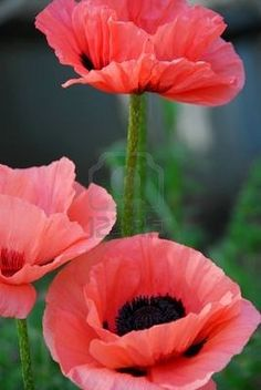 3 pink poppies