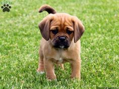 Oh, heart melting little Puggle.  (Thanks, @Shelby Maticic)