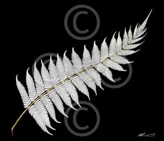 New Zealand art - Google Search it's the national symbol for New Zealand. Silver Fern