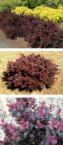 Crimson Pygmy Barberry - to add a color other than green to plants in front of house