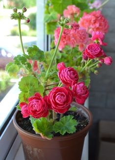 Beautiful Rose Flowers, Amazing Flowers, Beautiful Flowers, Geranium Plant, Geranium Flower, Arrangements Ikebana, Flower Arrangements, Container Plants, Container Gardening