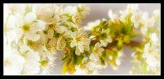 Spring cherries :)