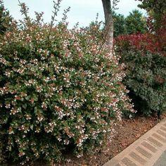 Scientific Name: Abelia x grandiflora Common Name: Glossy Abelia Zone: 6 Height: 8′ x 5′ Spread: 8′ x 5′ Flower color: White