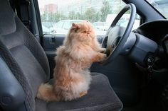 8 Tips for Safe Car Travel With Your Cat. If you're planning to travel by car and you must take your cat with you, here are some tips to make the experience safer and a little less stressful. Article by Pam Johnson-Bennett, CCBC