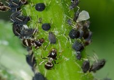 Types of Insects - Insect Identification Types Of Bugs, Types Of Insects, Small Insects, Garden Insects, Garden Pests, How To Grow Dill, Insect Identification, Get Rid Of Aphids, Black Oil Sunflower Seeds