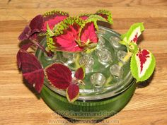 How to root coleus and make more plants for free!