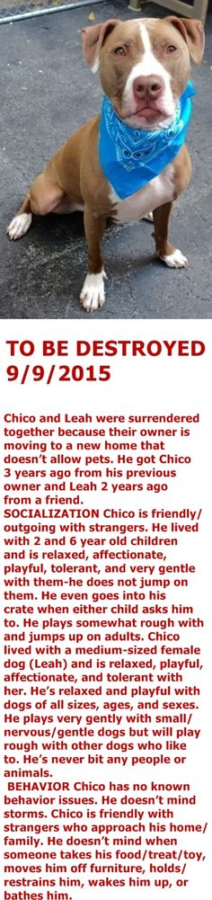RETURNED 10/02/15 TOO STRONG --- SAFE 9-11-2015 --- Manhattan Center – P My name is CHICO. My Animal ID # is A1049333. I am a neutered male tan and white am pit bull ter. The shelter thinks I am about 3 YEARS old. I came in the shelter as a OWNER SUR on 08/27/2015 from NY 10463, owner surrender reason stated was MOVE2PRIVA. http://nycdogs.urgentpodr.org/chico-a1049333/