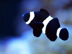 Black clownfish.