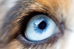 Australian Shepherd Blue Eye