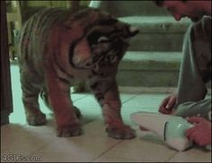 Baby tiger is afraid of handheld vacuum = cutest thing I've ever seen.