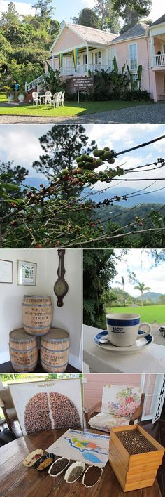 Coffee at Craighton Estate, Blue Mountain, Jamaica  © Will Travel for Food #coffee #travel #jamaica