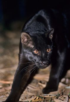 Asian Golden Cat (Pardofelis temminckii) - Asian Golden Cats are highly variable in color, including melanistic, as seen here.