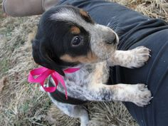 Blue tick beagle :D Some day she will be mine!!!!