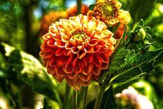 Orange bloom - SONY DSC