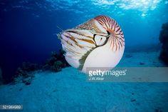ストックフォト : Nautilus -Nautilus belauensis-, Palau Nautilus, Oceans, Diving, Scuba Diving