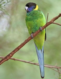 AUSTRALIAN RINGNECK  (Barnardius zonarius) - a large parrot, differing in size and plumage in different regions. There are four subspecies, in two main groups. All are mostly green, with an obvious yellow band on the hind-neck and are endemic to Australia. Found in pairs or small flocks over lightly timbered areas and open woodlands.  They feed mainly on the ground, resting in the heat of the day. They eat seeds, and some fruits, flowers, nectar and insects and their larvae.