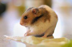 Espécies de Hamsters :: PetsBR.com ::