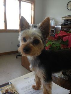 Image result for Short Haircuts for Yorkie Dogs