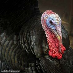 http://theanimalrescuesite.greatergood.com/clickToGive/ars/petition/turkey-toss-ars?gg_source=ars  Please sign petition to stop these people from torturing turkeys. Thank you.