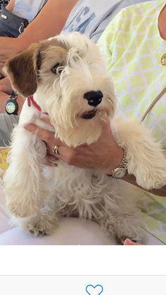 4 month old Sealyham puppy, Great Western Terrier Show, Long Beach, CA 2015