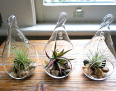 air plants for sale on Etsy, a global handmade and vintage marketplace.