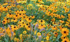 Einjährige Sorten des Rauen Sonnenhuts (Rudbeckia hirta) sind in zahlreichen Gelb- und Orangetönen erhältlich