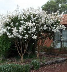 Crape Myrtle.  Full sun.  Attractive peeling bark.  Blooms in summer.  Shear annually after flowering.