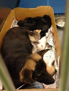 Momma German shepherd with 8 puppies has rescue offer but needs a foster home