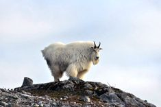 """Alaska mountain goats are very affordable to hunt in comparison to hunting goats in Canada. If you want to go mountain goat hunting Alaska makes for an incredible first time mountain hunt and is the perfect """"training ground"""" for sheep hunting. Mountain Goats, Big Game Hunting, Polar Bear, Alaska, Sheep, The Incredibles, Canada, Training, Work Outs"""