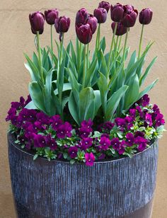 Most Beautiful Purple Flowers with Pictures - Tulips - Blumen & Pflanzen Tulips Garden, Garden Pots, Planting Flowers, Garden Ideas, Potted Flowers, Garden Guide, Terrace Garden, Potted Plants, Container Plants