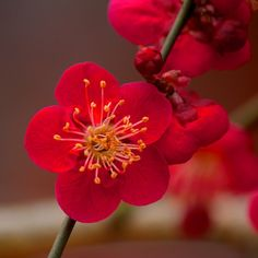 """""""The Cherry may be the prettier of the two; but when once you have seen the red Plum-blossom in the snow at the dawn of a spring morning, you will no longer forget its beauty.""""  - Fujiwara no Kinto (996-1075)"""