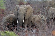 Wildlife Photographer Community This is magnificent image of Elephant family by wildlife photographer Rene van der Schyff Wildlife Photography shared on http://photos.wildfact.com, a website community for wildlife photographers only. To enjoy the image click below link to view in full mode, to join the community, see many other wildlife photographs and follow wildlife photographers http://photos.wildfact.com/image/574/elephant-herd  #Wildlife #WildlifePhotography #Photography #KNP