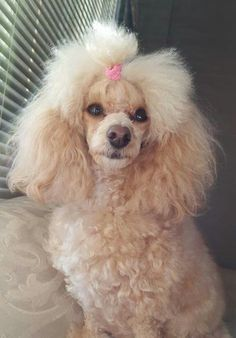 Daisy Apricot Toy Poodle. RB16