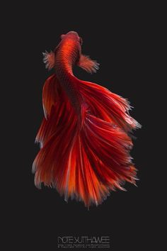 Belonging to a tropical genre, Betta requires certain things and environment to keep them healthy. And you can ask any of the aquarists owning a Betta that how difficult it is for them to keep the little creature happy! Colorful Fish, Tropical Fish, Freshwater Aquarium, Aquarium Fish, Beautiful Fish, Animals Beautiful, Pretty Fish, Beautiful Pictures, Poisson Combatant