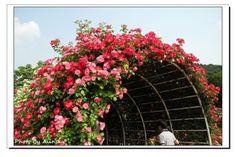 Rose花棚