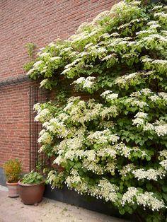 Kletterpflanze Halbschattig hydrangea anomala kletterhortensie schatten kletterpflanze