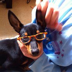 Bonnie-Bear feeling snazzy.  #puppy #dog #cute #ett #englishtoyterrier #terrier #dogsofinstagram #fourfootedfriends #mansbestfriend #glasses #snazzy #stylish #nofilter #paw #lol #funny #instagood #latergram