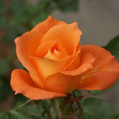 City of Pretoria |   Roses are no strangers to Pretoria – the first rose show was held here over 100 years ago. This rose was chosen to represent Pretoria.  Large clusters of shapely buds unfold slowly, displaying the firm, pointed petals of semi-double blooms. Warm deep orange-apricot with cream on the reverse. Well rounded specimens of even height.