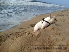 Governor is a 7 month old frenchie - he loved his first trip to the beach in Montauk this summer!! This is him running away from the big waves…  by Heather & Seth