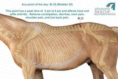 Acu-point of the day: Bl 25 (Bladder This point has a peak time of 3 pm to 5 pm and affects hock and stifle arthritis. Relieves constipation, diarrhea, neck pain, shoulder pain, and low back pain. Equine Massage Therapy, Horse Therapy, Horse Anatomy, Animal Anatomy, Shiatsu, Relieve Constipation, Natural Horsemanship, Pet Health, Health Tips